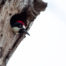 Acorn Woodpecker in Tree Cavity