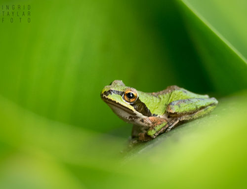 Pacific Chorus Frogs