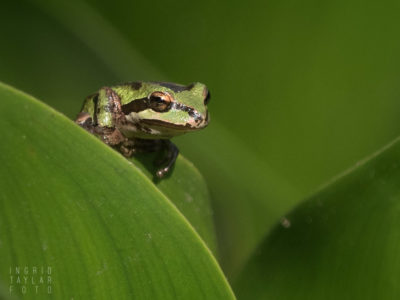 Pacific Chorus Frog on Leaf