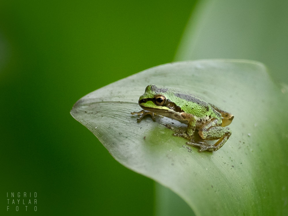 Tree frog on leaf in Oakland California