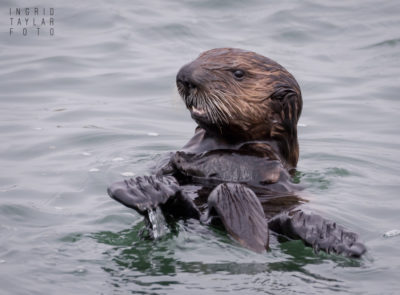 Southern Sea Otter Pup at Moss Landing