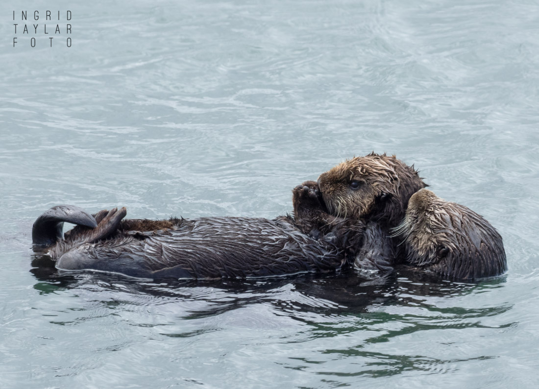 Southern sea otter mother with pup