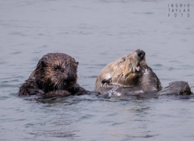 Sea Otter Pup and Mother