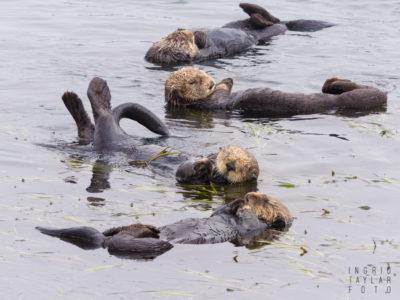 Southern Sea Otter Raft in Morro Bay