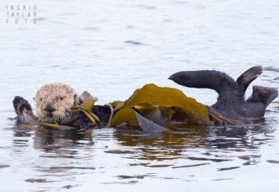 Sea Otter Wrapped in Kelp in Morro Bay