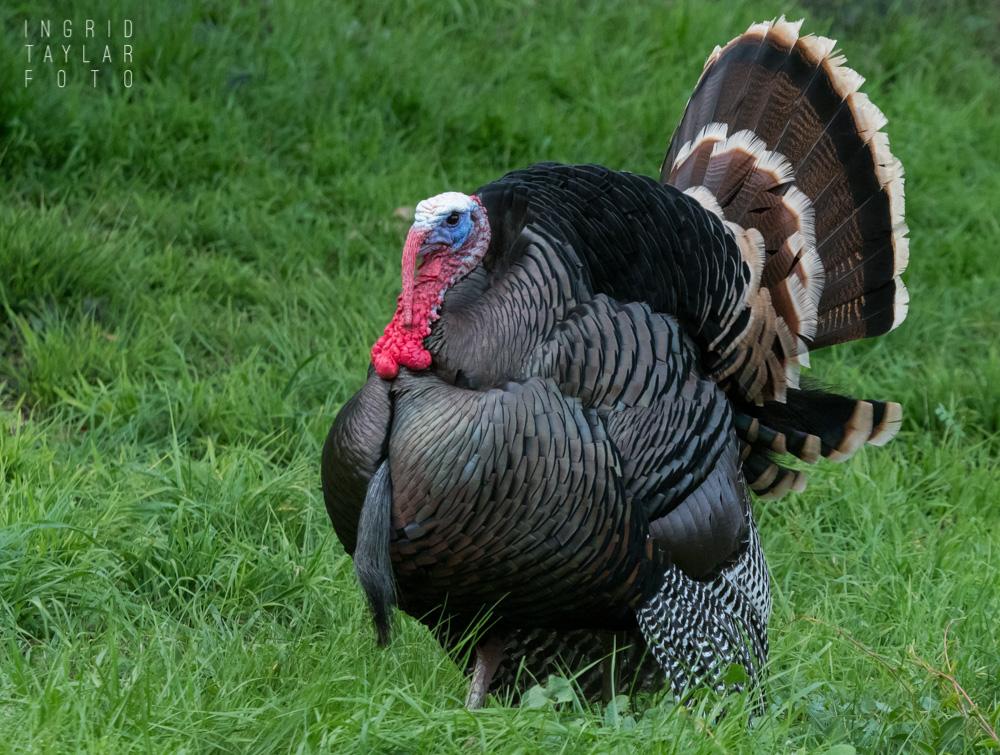 Wild Turkey in Oakland California
