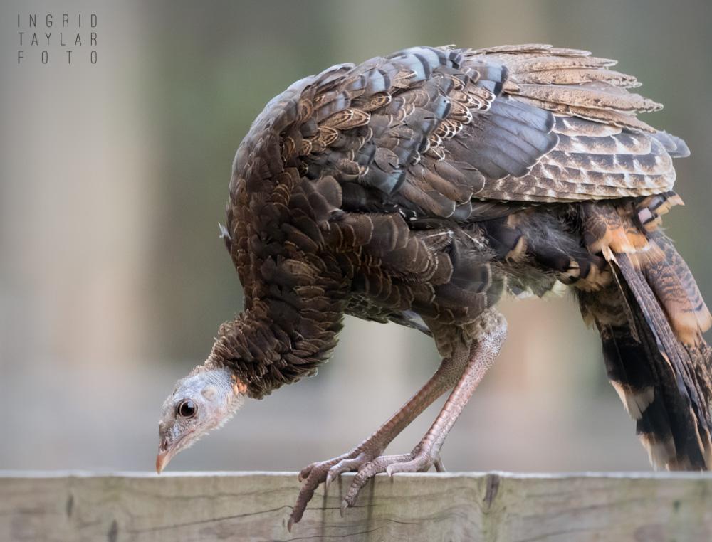 Wild Turkey on fence