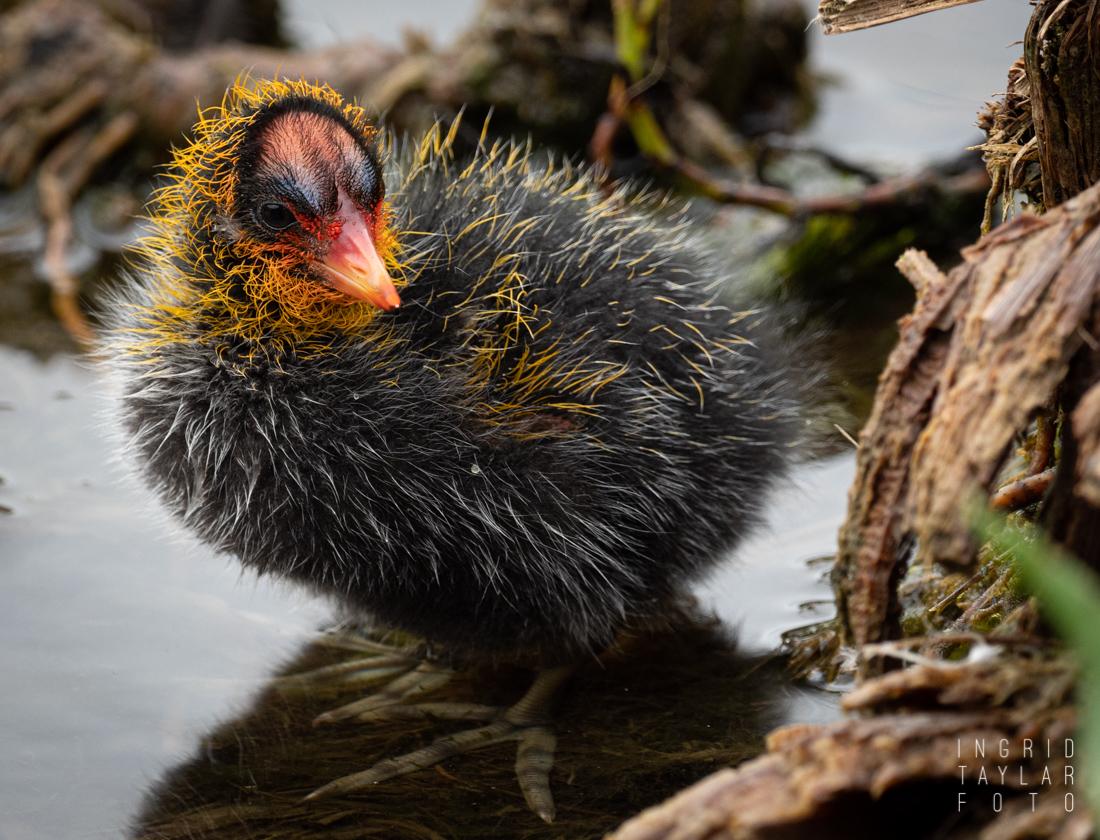 American Coot Chick 1