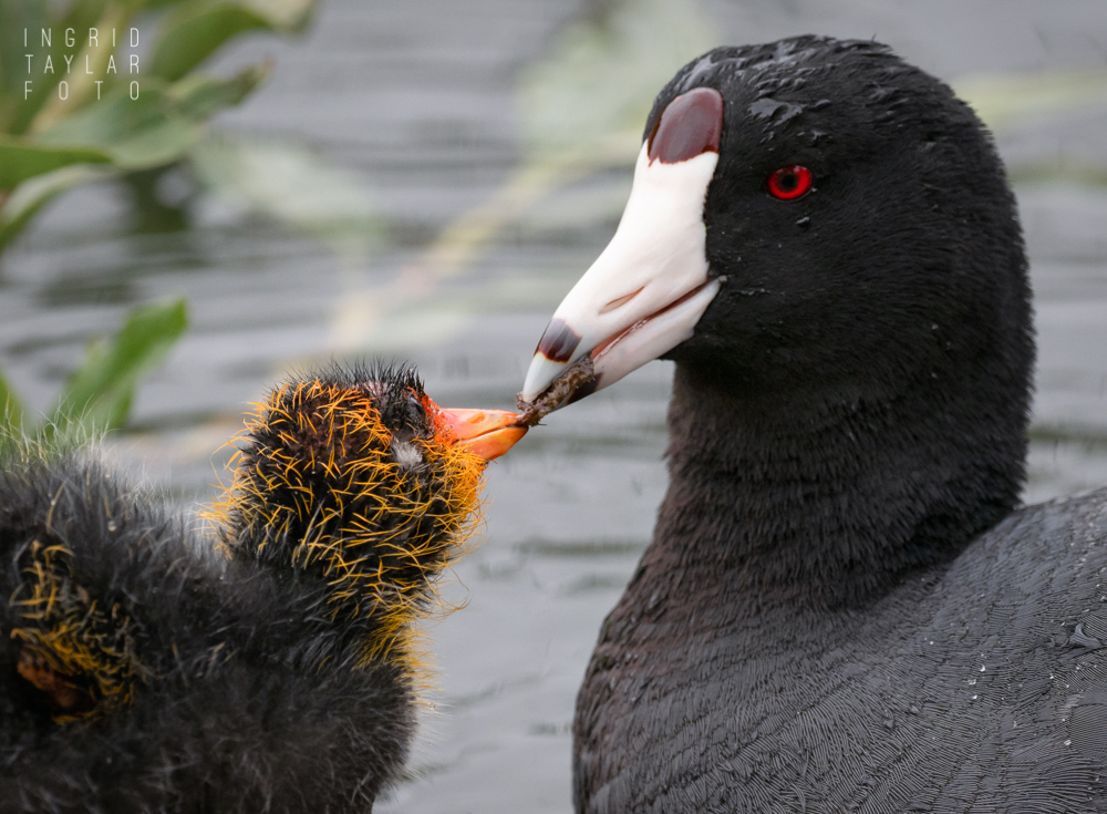 American Coot Parent Feeding Chick
