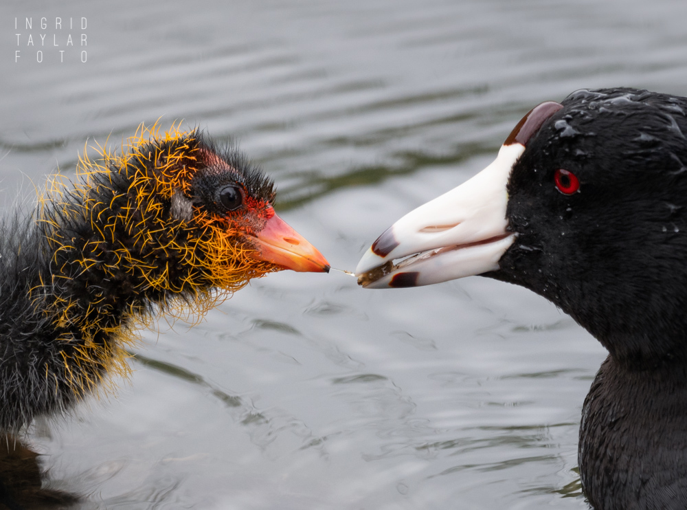 American Coot Parent Feeding Chick 2