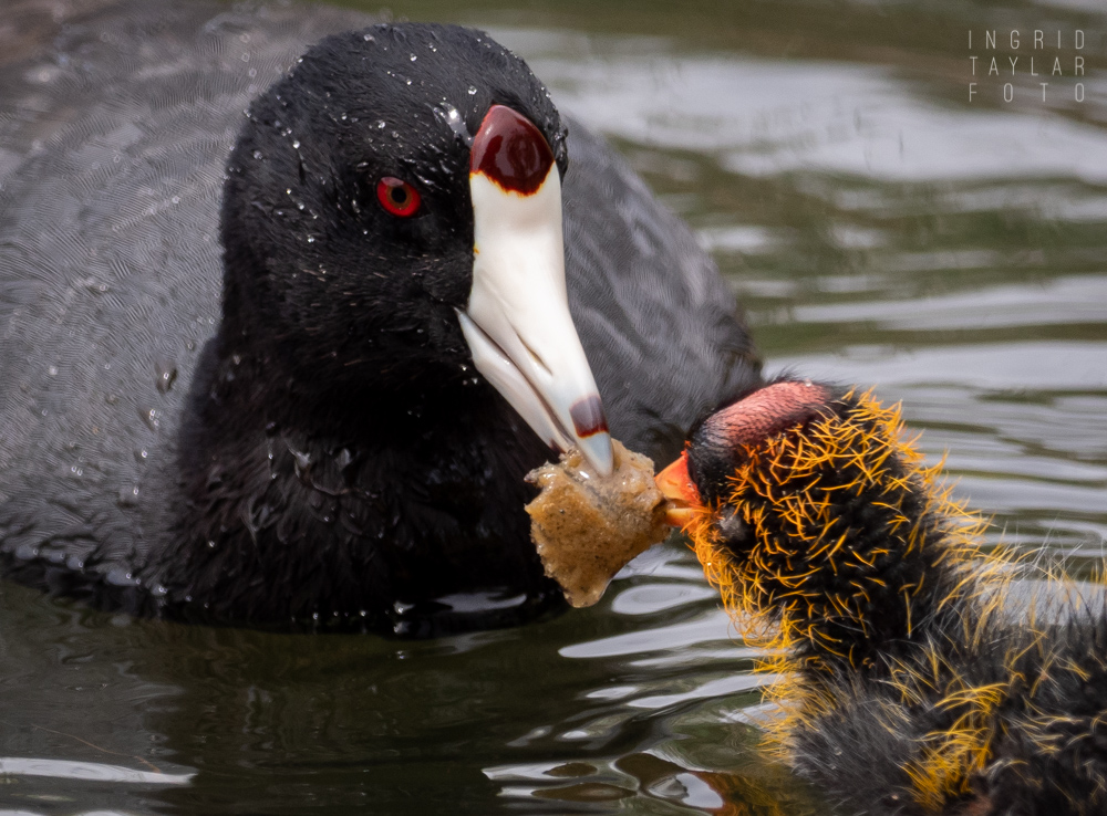 American Coot Parent Feeding Chick 3