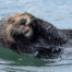 Southern Sea Otter Grooming Face