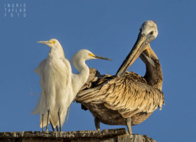 Snowy Egrets and Brown Pelican