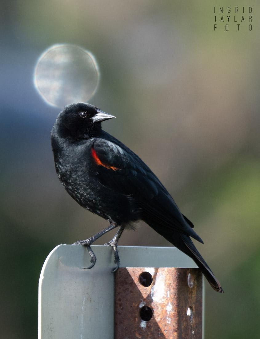 Blackbird and Moon Bokeh