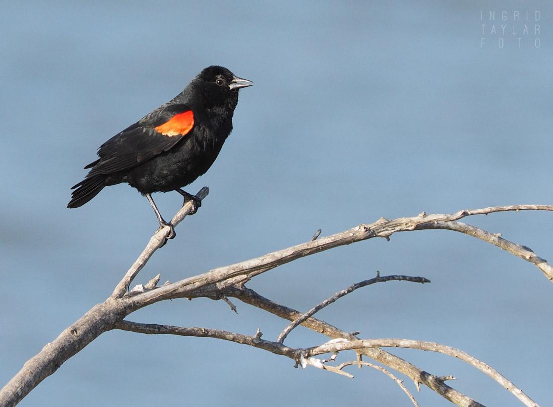 Red-winged Blackbird on Branch