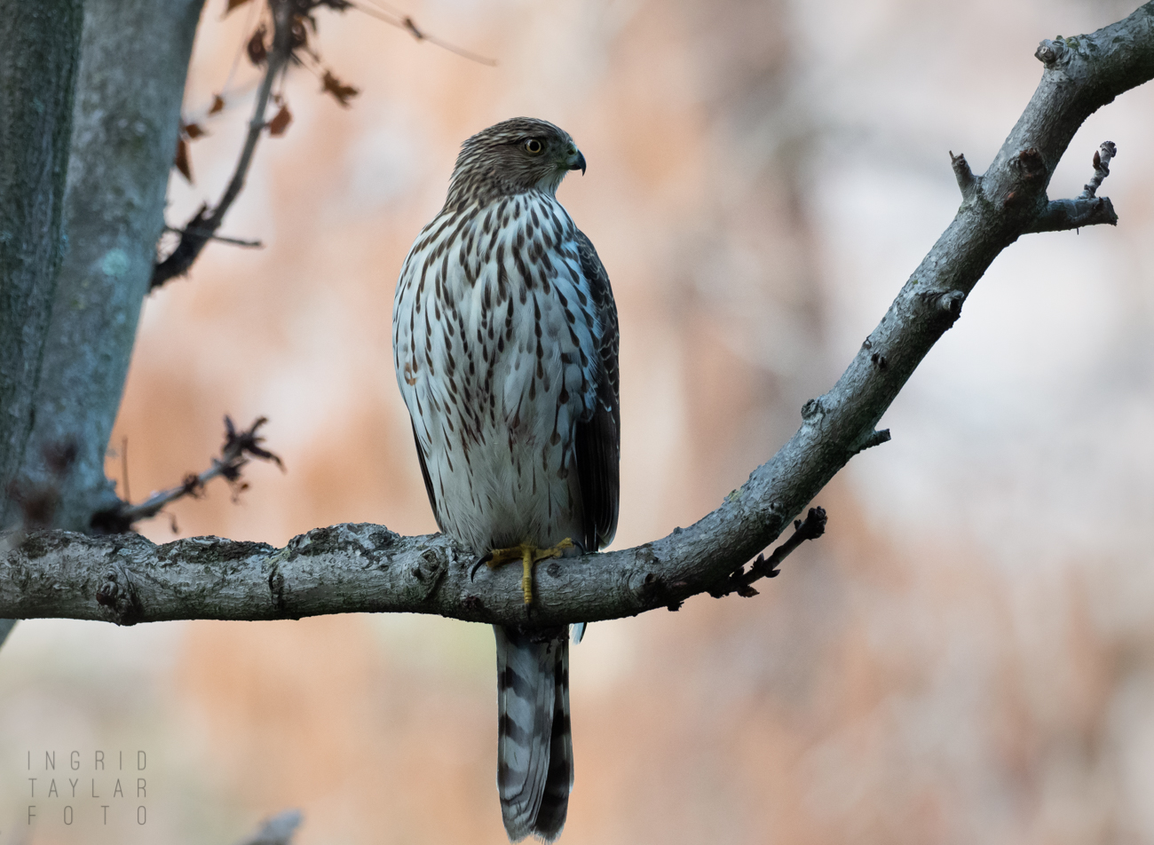 Cooper's Hawk in Lake Merritt Gardens