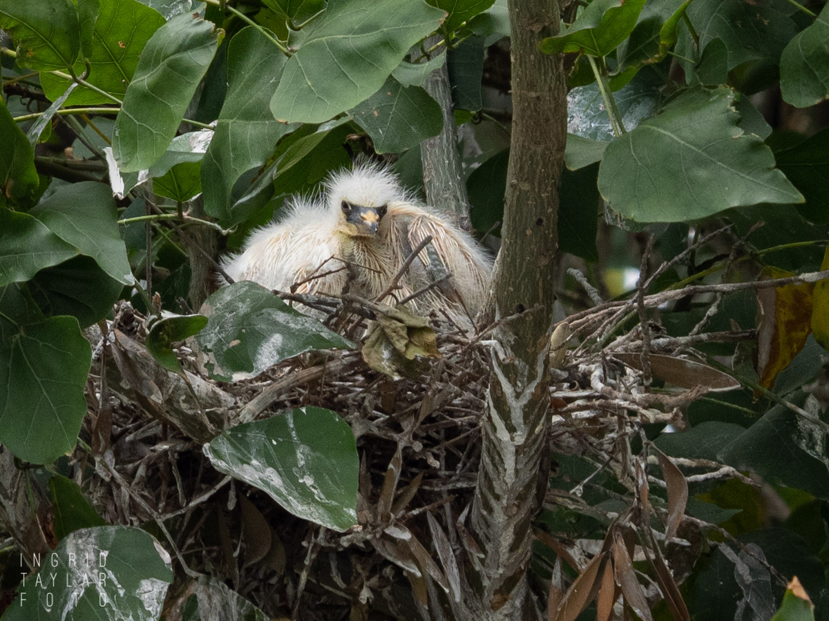 Egret Chick in Nest