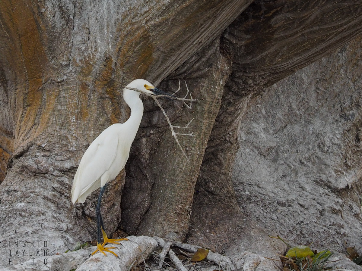 Egret Nest Building