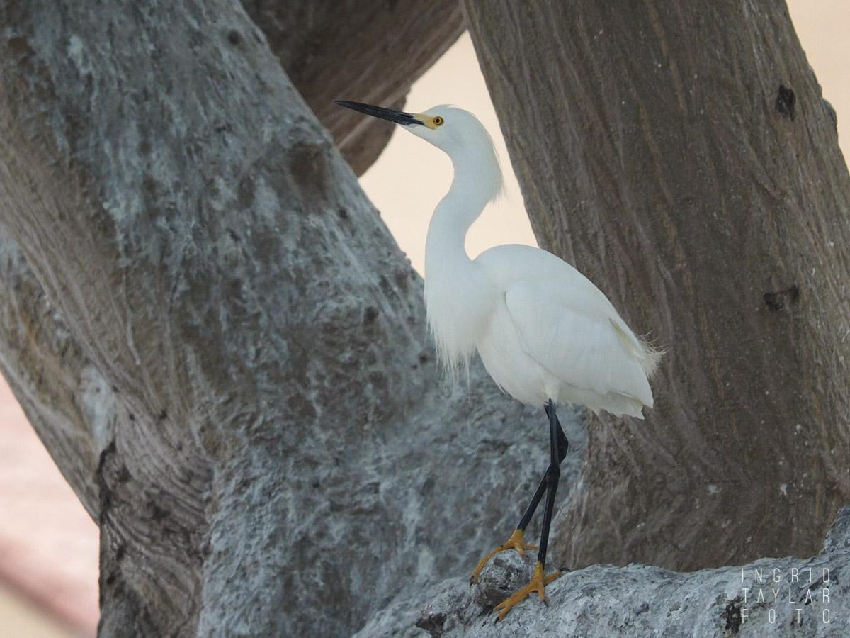 Snowy Egret in Rookery Tree
