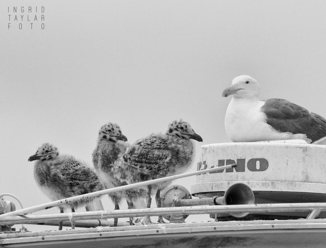 Western Gull Chicks on Boat