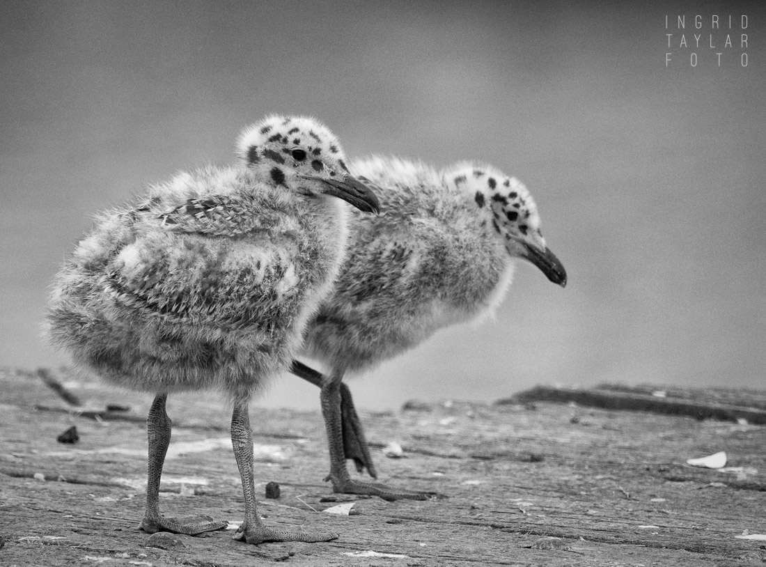 Western Gull Chicks on Dock