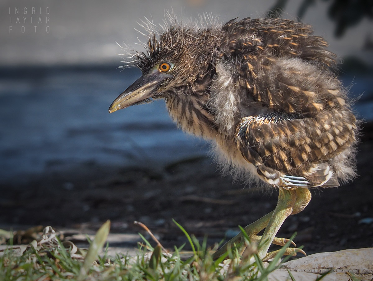 Night Heron Chick Rescued