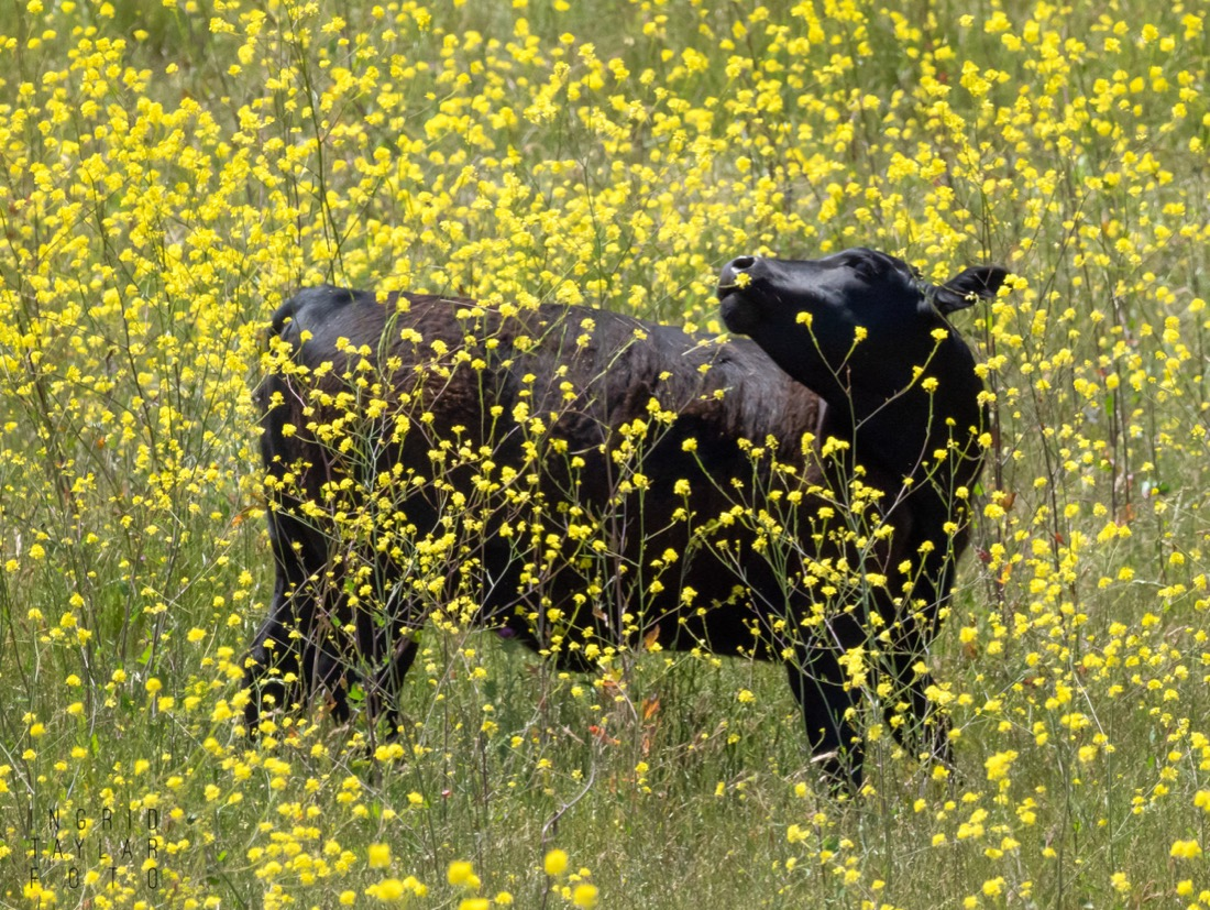Cow in Mustard Blooms