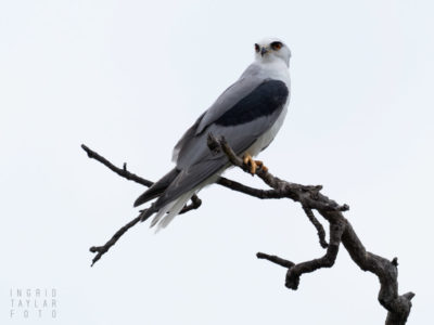 White-tailed Kite Perched on Branch in Clouds