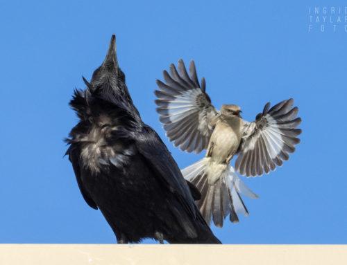 Mob of One: Northern Mockingbird
