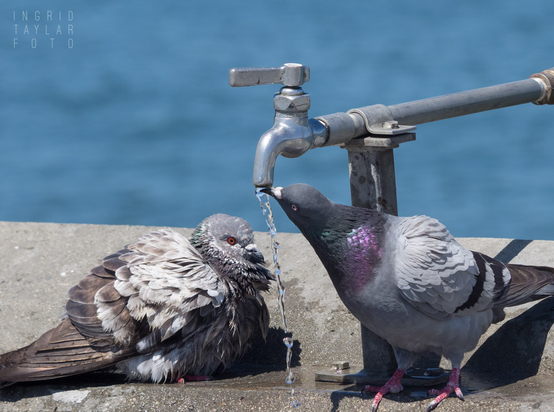 Pigeons drinking from a faucet