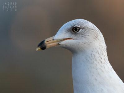 Ring-Billed Gull in Profile