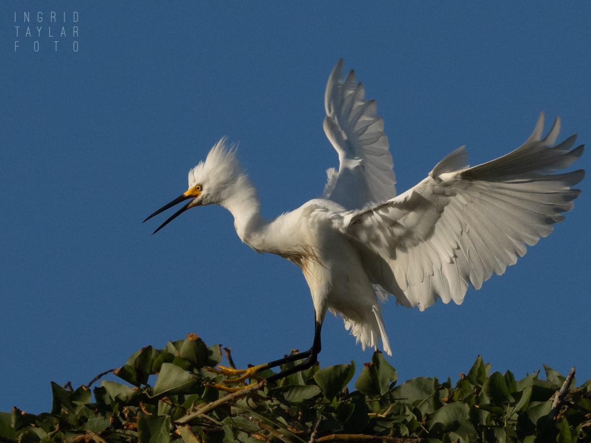 Snowy Egret Landing in Rookery