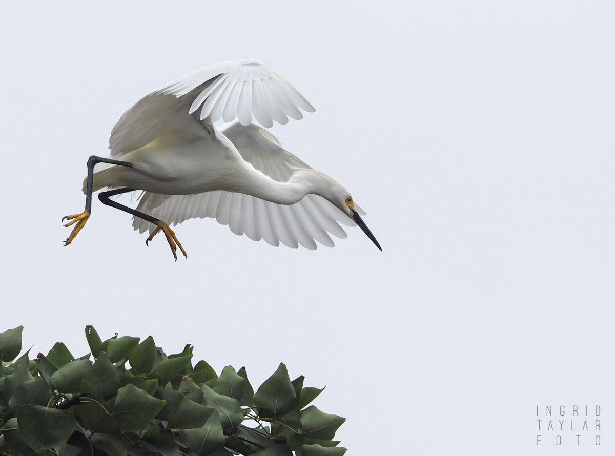 Snow Egret in Rookery Tree