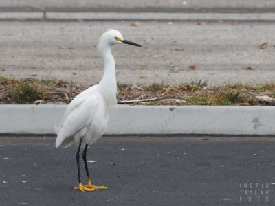 Snowy Egret at Urban Rookery