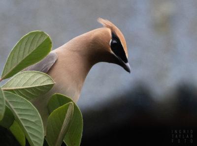 Cedar Waxwing Profile