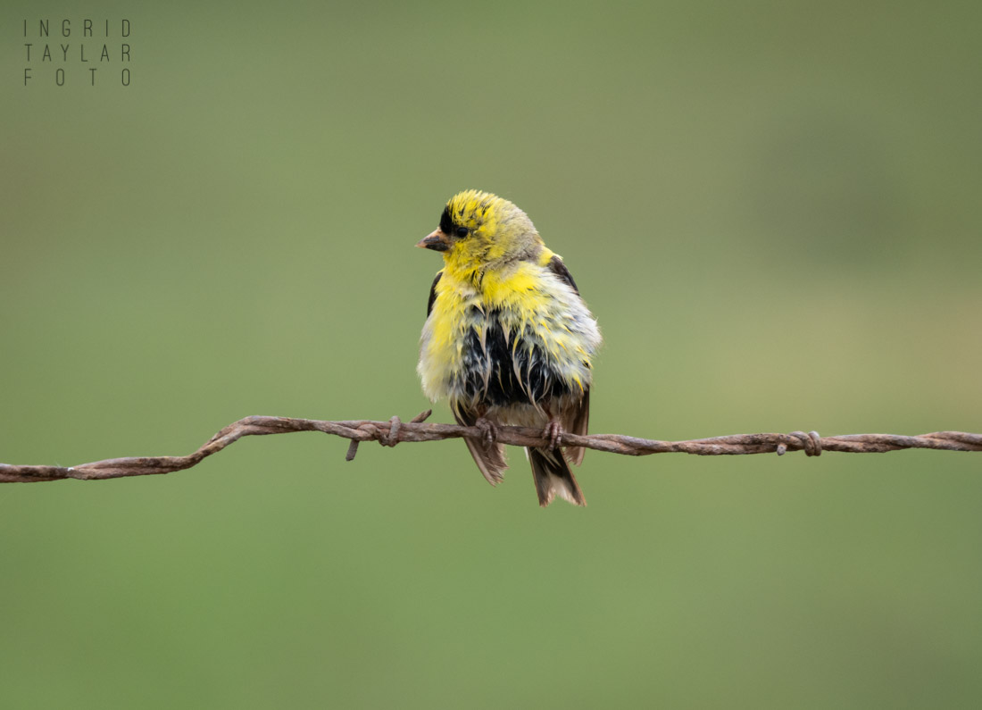 Wet Goldfinch on Barbed Wire Fence