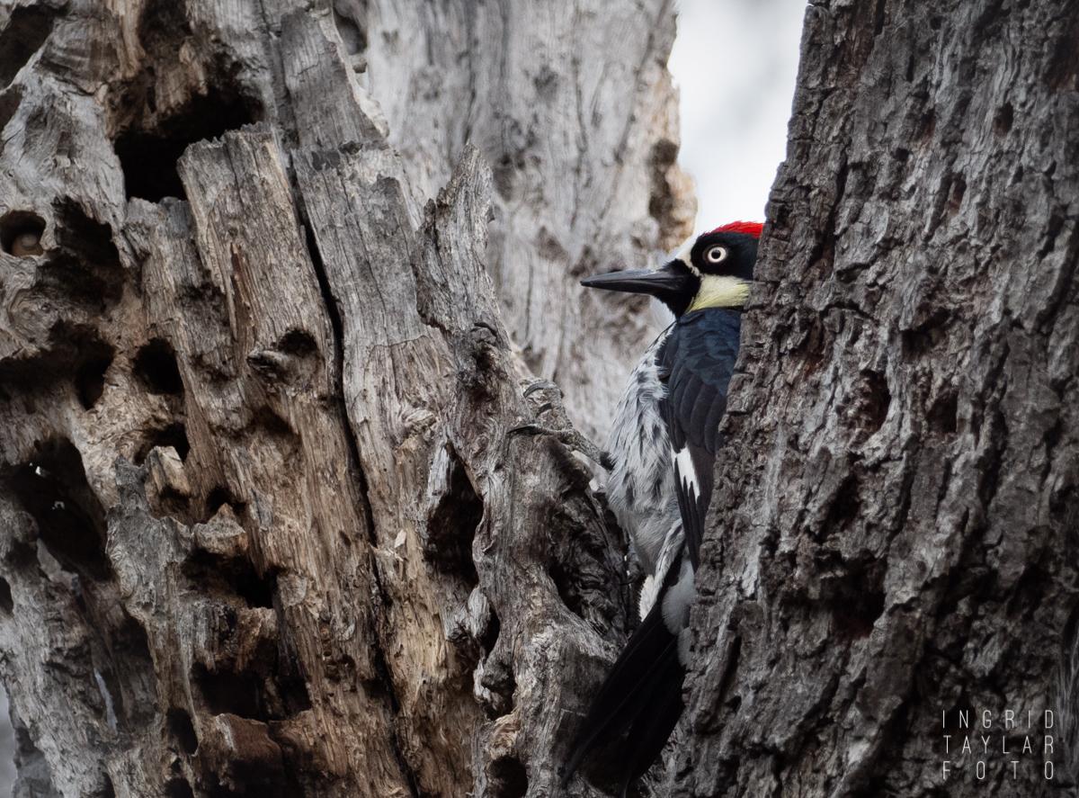 Acorn Woodpecker at Mt. Diablo
