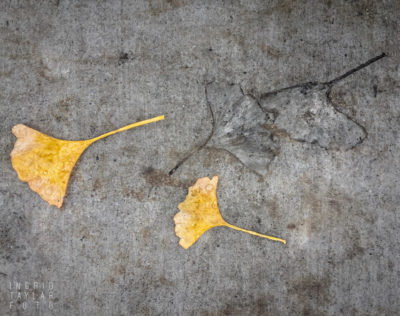 A Gingko and Its Fossil