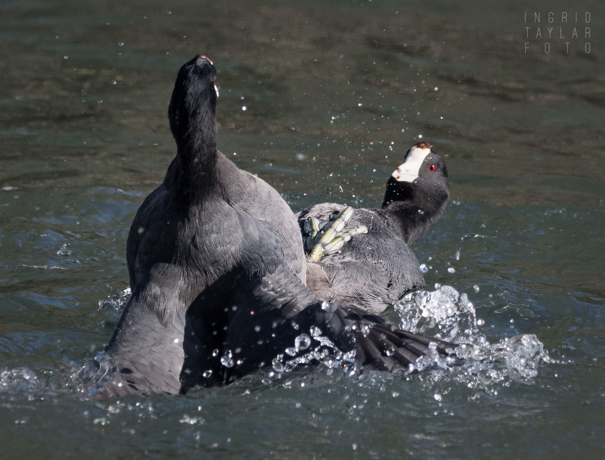 American Coots in Territorial Scuffle-2