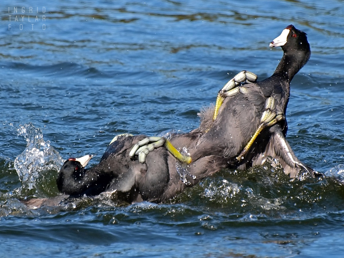 American Coots in Territorial Scuffle