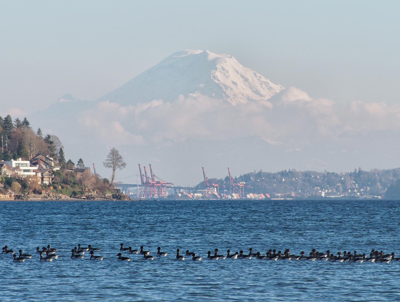 Brandt Geese and Mt. Rainier