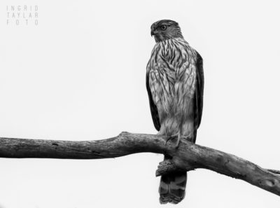 Cooper's Hawk in Monochrome