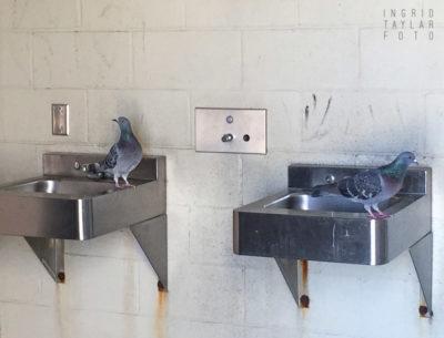 Pigeon Sinks