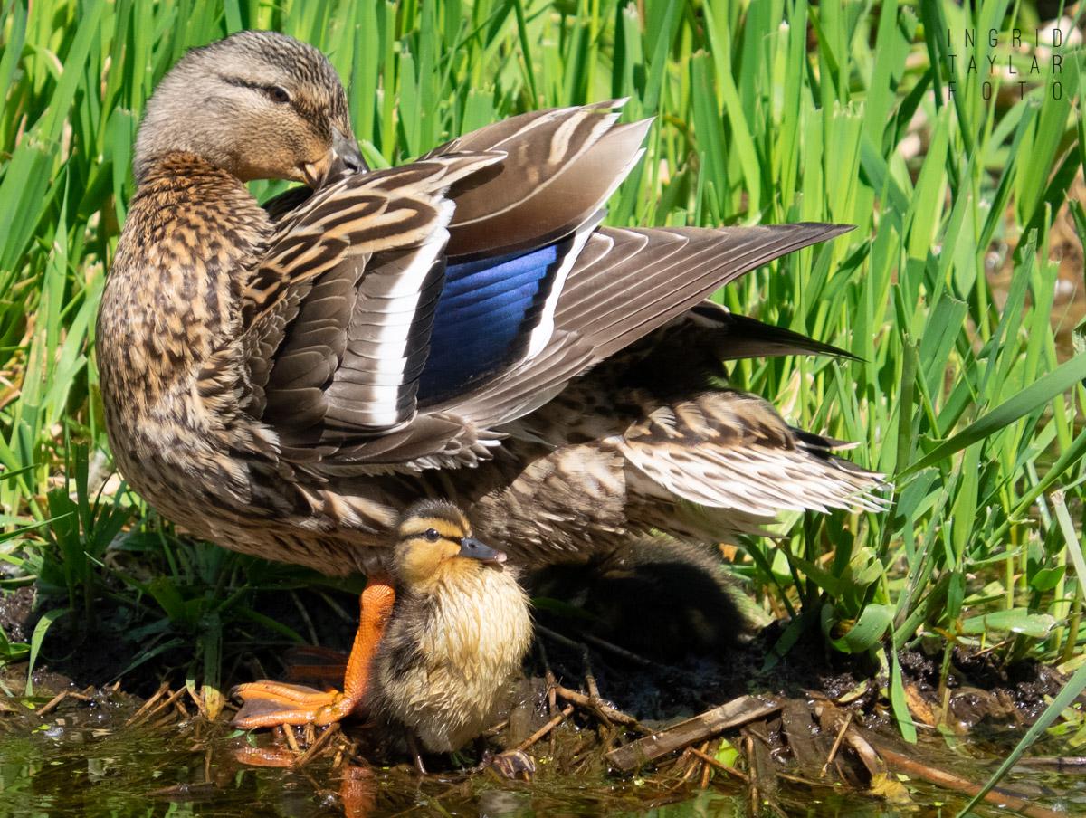 Mama Mallard and Duckling
