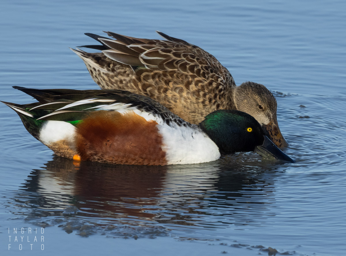 Northern Shoveler Pair_