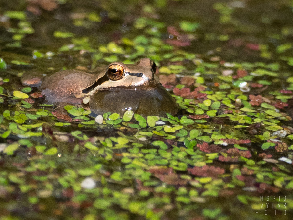 Pacific Chorus Frog Calling