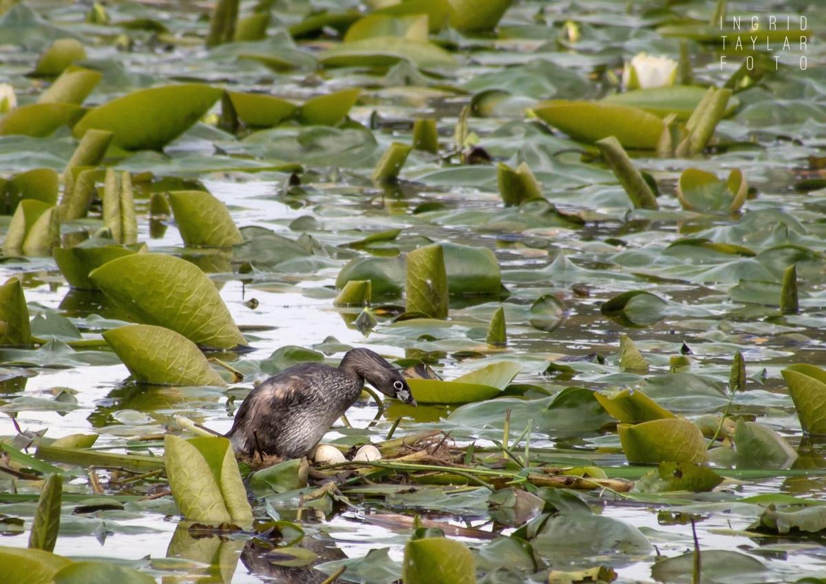 Pied-Billed Grebe Nest