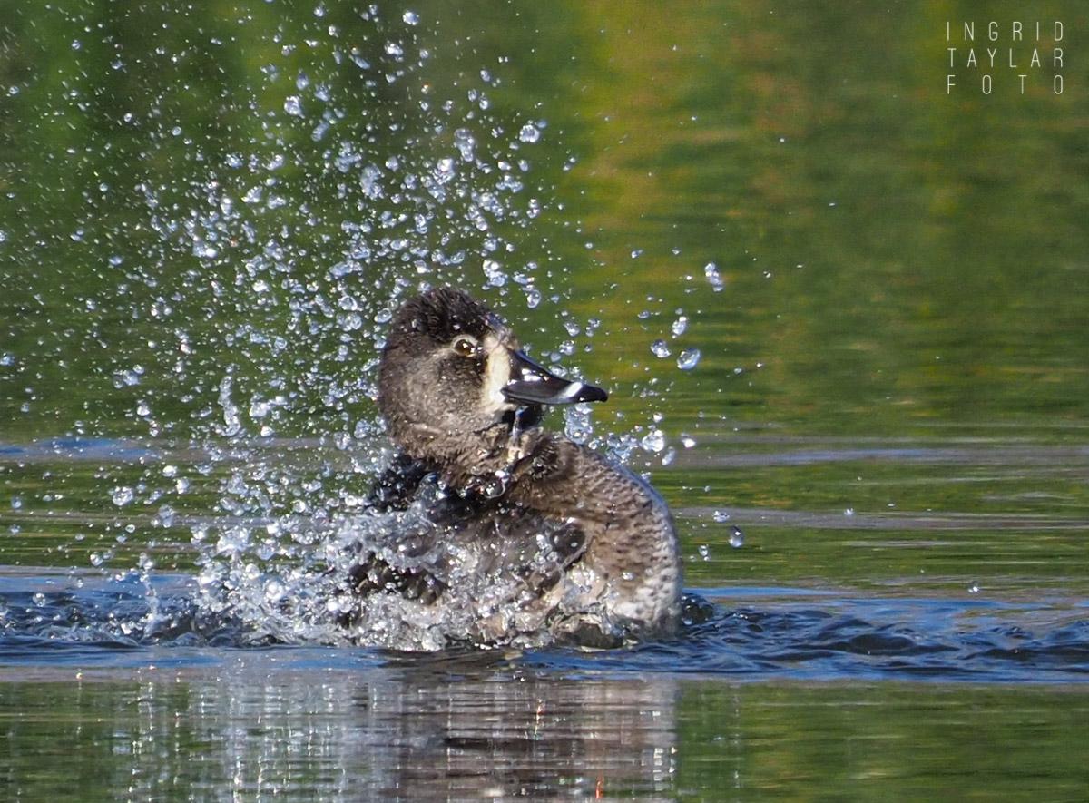 Ring-Necked Duck Bath