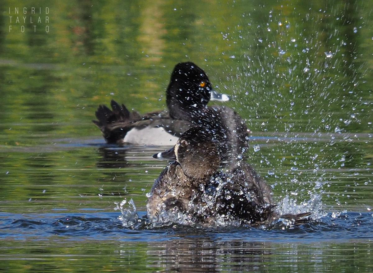 Ring-Necked Ducks Bathing