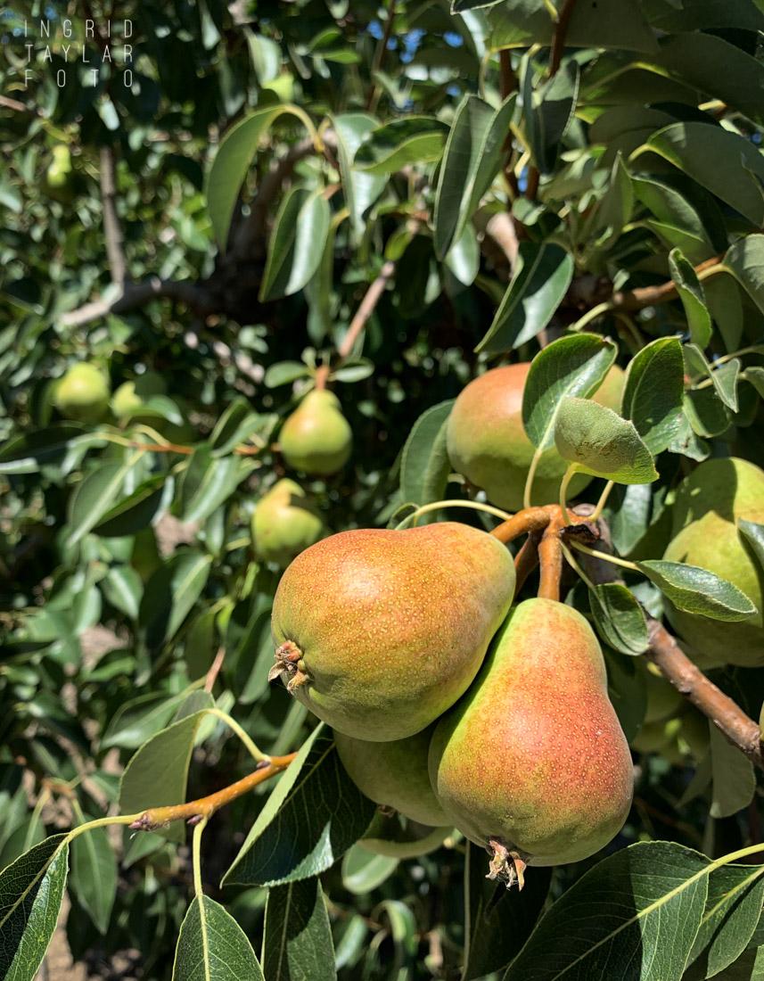 Rio Vista Pear Orchard